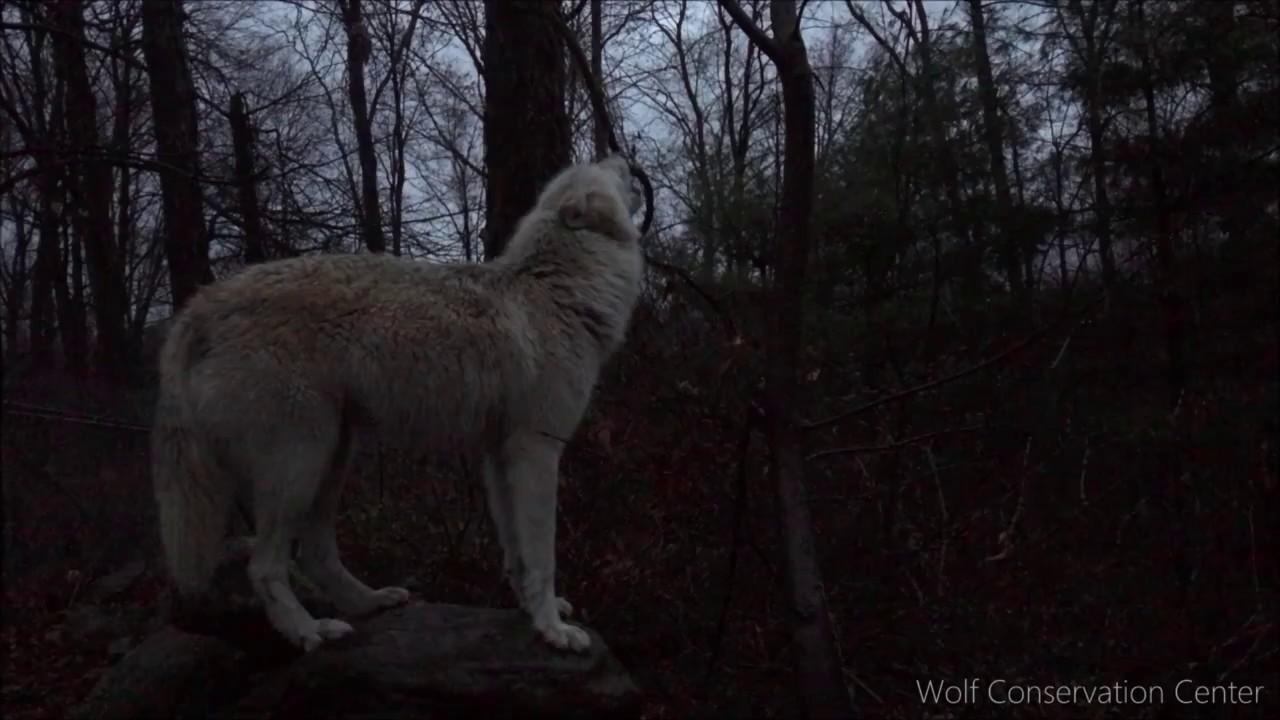 Wolf S Night Howl Youtube