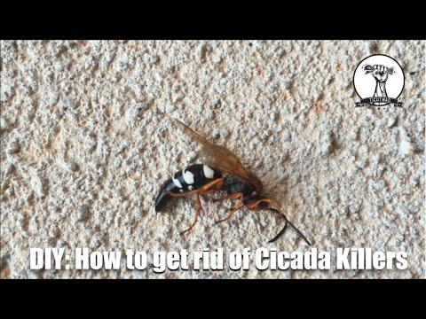 DIY: Identifying and Getting Rid of Cicaida Killer Wasps - Hornets, Wasps, Bees