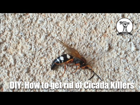 DIY: Identifying and Getting Rid of Cicaida Killer Wasps - Hornets, Wasps, Bees