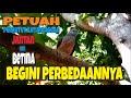 Perbedaan Katuranggan Perkutut Jantan Dan Betina Kalam Wadi  Mp3 - Mp4 Download