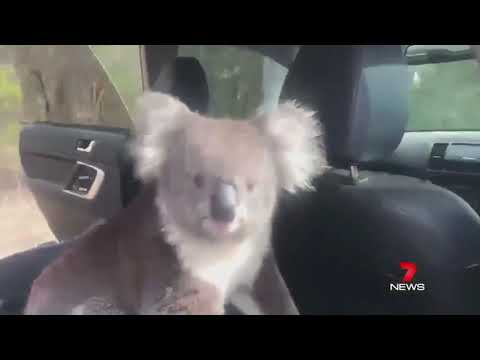 kelly - Curious Koala SNEAKS Into Guy's Car!
