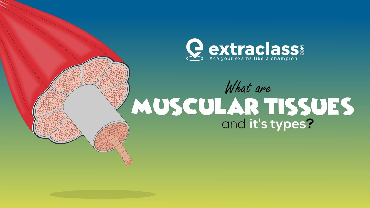 What are muscular tissue and its types | Biology | Extraclass.com