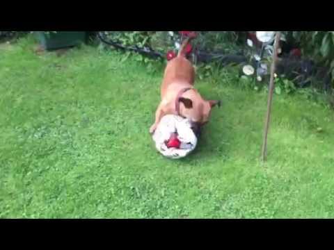 Vlog: Small Dog Versus Football