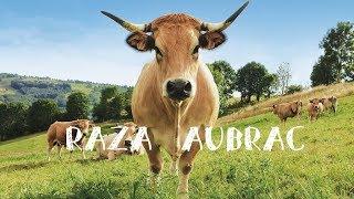 Raza Aubrac Asturias, la vaca ecológica