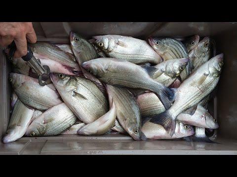 Vertical Jigging For White Bass Lake Livingston  5/14/16