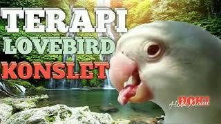 Download Lagu Terapi suara burung lovebird konslet mp3