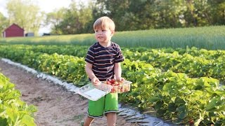 U-Pick Strawberries at Swann Farms Located in Southern Maryland