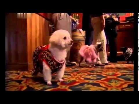 Гаванская болонка (гаванский бишон) - фильм о породе