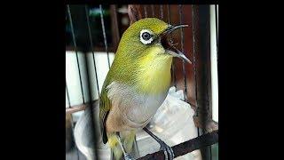 Download Lagu Terapi Pleci Montanus (Monty) Dijamin Maknyuss full HD mp3