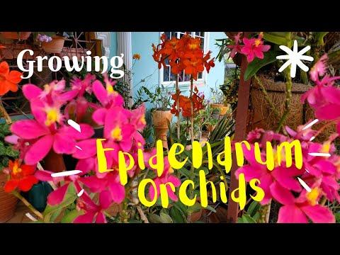Epidendrum orchids: Update