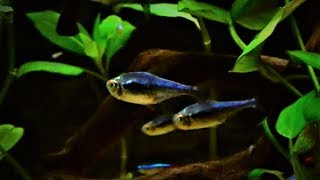 Black Diamond Neon Tetra Care & Tank Set up Guide
