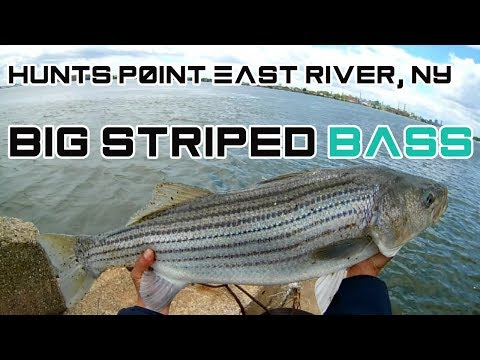 Big Striped Bass! at Hunts Point East River NY