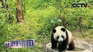 [中国新闻] 四川雅安:两只大熊猫今日起程赴俄罗斯 | CCTV中文国际