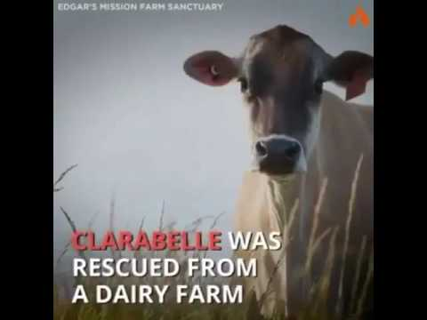 Mama Cow Hides Baby After Others Were Taken By Dairy Industry