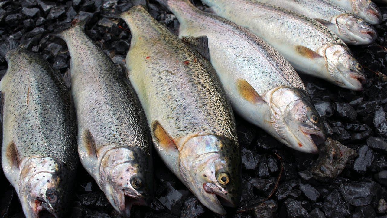 How to cook trout 47