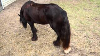 MS Avalon - 2009 Solid Black 15h Gypsy Mare  for Sale  Trot