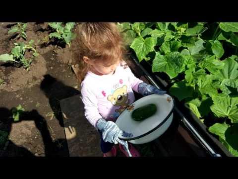 Как вырастить огурцы на Урале? Собираем урожай!