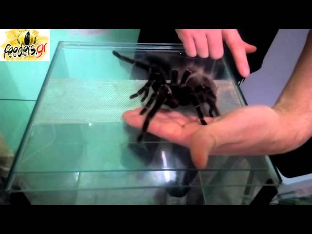 Lasidiora Parahybana Handling