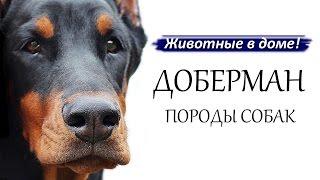 Доберман - породы собак.(, 2015-09-27T14:05:31.000Z)