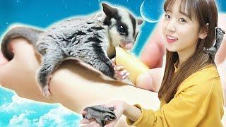 슈가글라이더 먹방!? 하늘다람쥐의 식사시간! 달콤한 사과먹기! Sugar Gliders as Pets : Eating Apples [이루리]