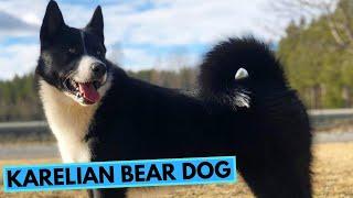 Karelian Bear Dog  TOP 10 Interesting Facts