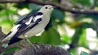 Wajib Anda Tahu !!! Burung Jalak Kapas Telah Banyak Ditemukan Di Indonesia