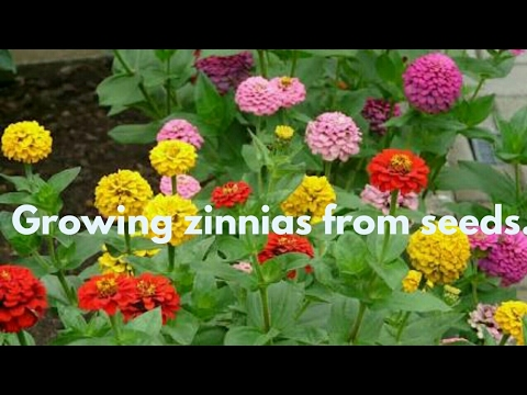 How To Grow Zinnia From Seed Eng Hindi
