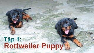 Tập 1: Những chú chó con khỏe mạnh/Chó ROTTWEILER đẹp /NhamTuatTV-Dog in Vietnam