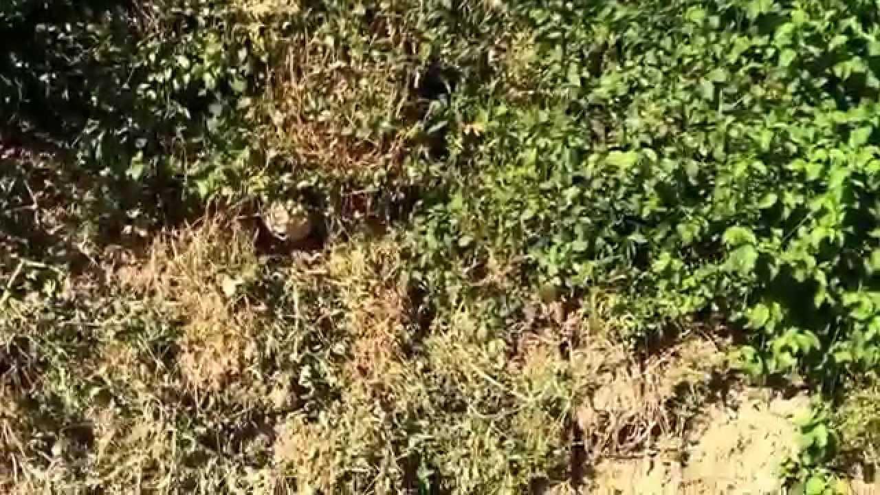 Frelons asiatiques dans un foss cinq piq res sur un - Nid de guepe sous terre ...