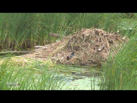 'Beaver-friendly' pipes at Buda pond aim to solve flooding problem