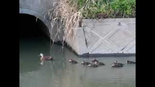 9/22撮影。排水溝(?)に住むカルガモ親子。そこへ別のカル雛2羽が何度...