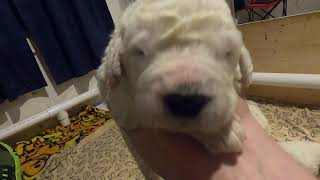 Komondor Puppies Litter B Day 12