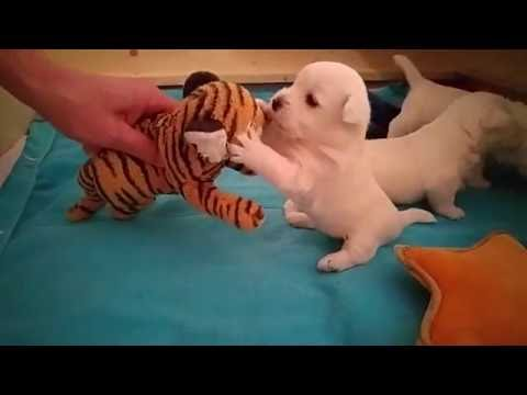 Westie Welpe vs. Tiger | Action Westies / West Highland White Terrier Action