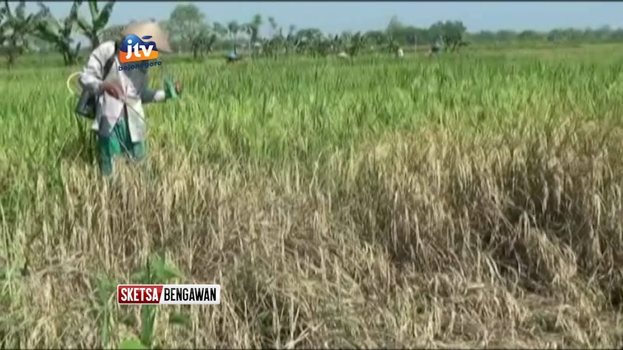 Puluhan Hektar Tanaman Padi Meluas Dan Terancam Puso Sketsa Bengawan Youtube