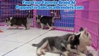 Siberian Husky Puppies For Sale Local Breeders