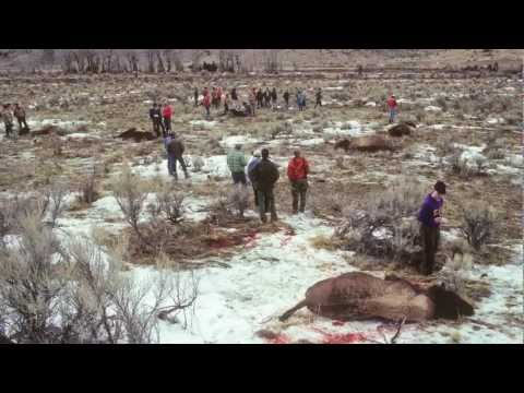 Return of the Yellowstone Bison -- The History