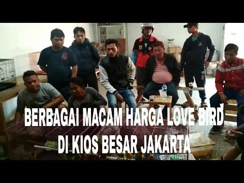 HARGA LOVE BIRD GROSIRAN & ECERAN DI JAKARTA - KIOS BESAR JAKARTA