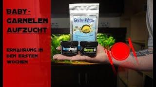 GARNELEN ZUCHT/ ERNÄHRUNG IN DEN ERSTEN WOCHEN