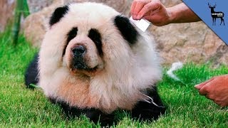 Why Are Panda Dogs So Popular?