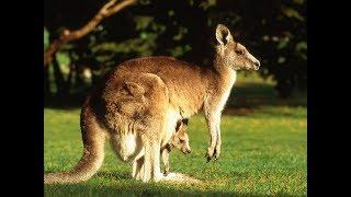 Животные которые есть всего на одном материке Драконы динозавры и дьяволы Странные звери Австралии