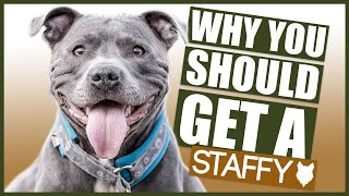 STAFFORDSHIRE BULL TERRIER! 5 Reasons Why YOU SHOULD GET a Staffy!