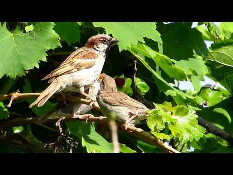 Male House Sparrow feeding his chicks - (Passer domesticus) Σπουργιτης - Cyprus