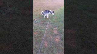 Brown's Training: 9 Month Old Alaskan Husky trained to poop outside