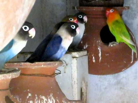FISCHERS AND MASKED LOVEBIRDS - YouTube