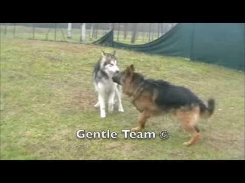 Gentle Team Un Pastore Tedesco Insegna Youtube