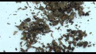 Sesame Seed Harvesting - Next72Hours Survival Gardening