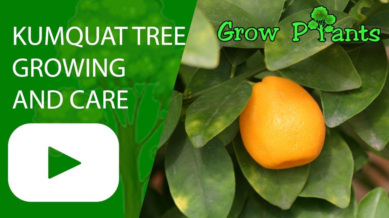 Kumquat Tree Growing And Care Youtube
