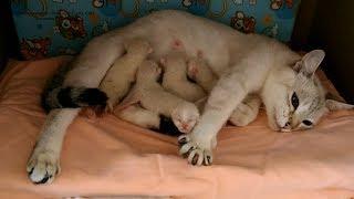Тайская кошка Юрата с котятами в первый день после родов! Тайские кошки - это чудо! Funny Cats