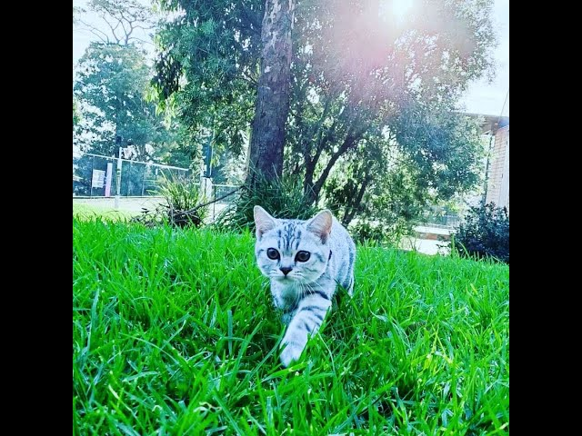 Little Tiger Outdoor Cat Walking Part 1