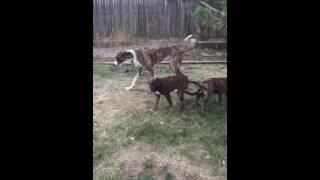 Sky & Everest the English Mastiff/Bouvier puppies 8.17.16